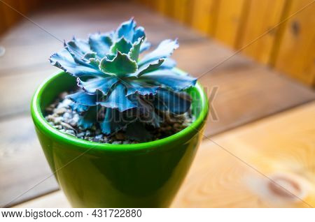 A Echeveria Grows In A Pot On The Wooden Surface Of The Windowsill. A Beautiful Green-brown Housepla
