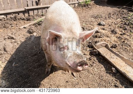 Pink Pigs On The Farm. Swine At The Farm. Meat Industry. Pig Farming To Meet The Growing Demand For