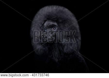 black-haired little toy poodle close-up portrait on black background