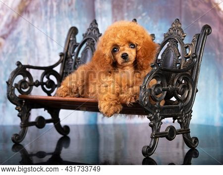 red-haired little toy poodle on a blue  background