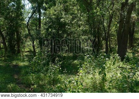 Summer landscape of Letea Natural Reserve Forest, unique landmark in Europe (Danube Delta Romania)