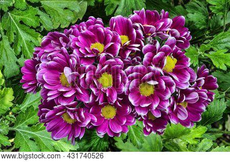 Purple White Chrysanthemum Bush Variety Haydar In Autumn Garden. Flowers With Yellow Centers And Whi