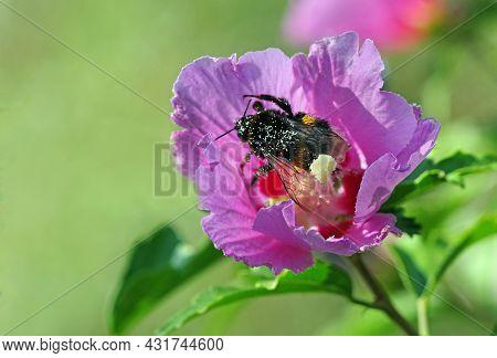 Mallow Flower. Bumblebee On Purple Mallow Flower Close-up