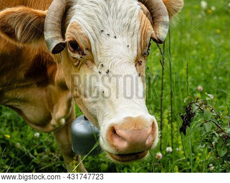 Close-up Of The Cow's Head. On The Muzzle And Eyes Sit Flies. On The Neck Hangs A Bell. The Ends Of