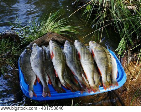 Freshly Caught Perch On A Tray By The River Close-up