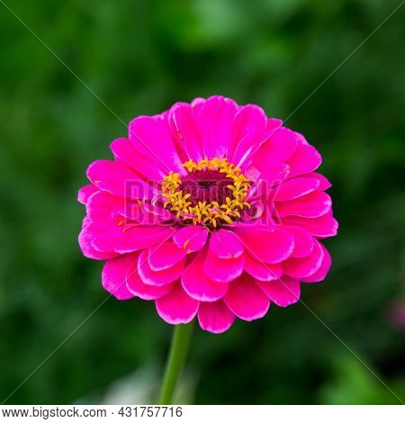 A Zinnia Flower (latin Zínnia) Is A Bright Pink Color Against A Green Background On A Clear Sunny Da