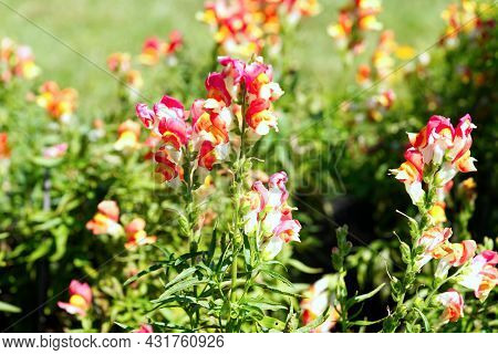 Snap Dragon Or Antirrhinum Majus Flowers Blooming In Garden Close Up