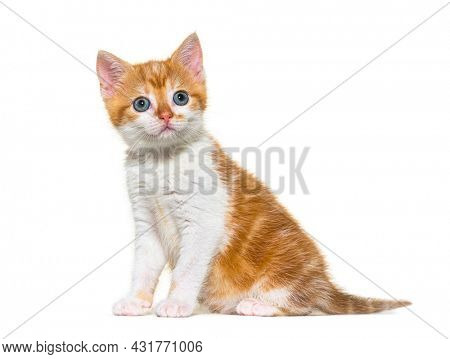Kitten Mixed-breed cat ginger and white sitting, isolated on white