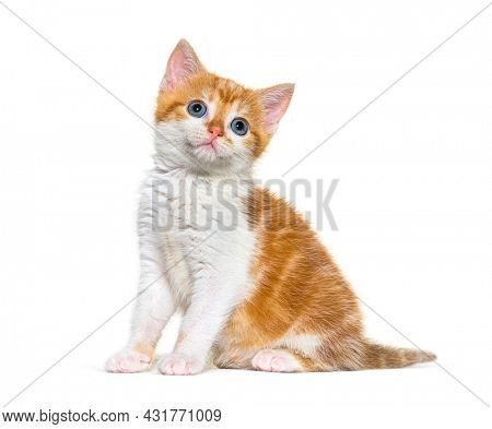 Kitten Mixed-breed cat ginger and white sitting and looking up, Isolated on white