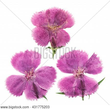 Pressed And Dried Flowers Carnation, Isolated On White Background. For Use In Scrapbooking, Floristr