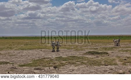 Zebras Stand Side By Side In The Endless African Savanna. There Is Yellowed Grass On The Dry Ground.