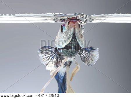 Siamese Fighting Fish,betta Splendens, In The Aquarium With Bubbles, Black Background, Halfmoon Bett