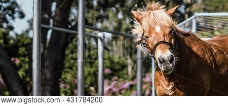 J Banner Close Up View Beauty Brown Horse Pony Head. Smile Emotion Look At Camera. Funny Humor Joy M