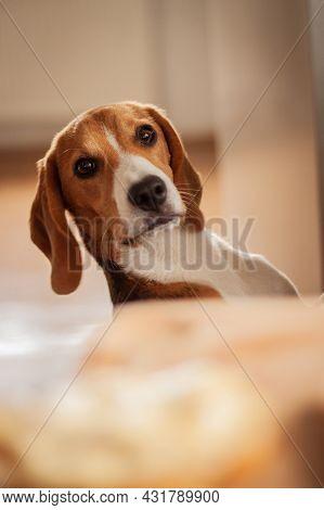 Dog peeking over the table   Cute young beagle dog peeking over the table and looking directly at the camera