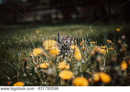 Little Roaring Devil Walks Through A Field Of Dandelions. A Grey And Black Kitten Screams To The Hea