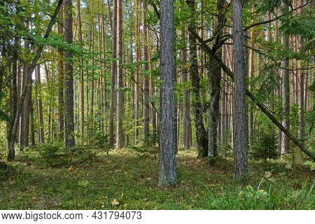 Coniferous Stand In Sun With Pine, Spruce And Moss Covered Forest Floor,bialowieza Forest,belarus,eu