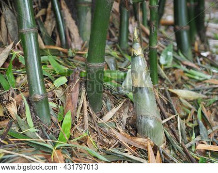 Bamboo Shoots Are Growing Shoots Emerge Out Of The Ground, Vegetable Food Nature Background