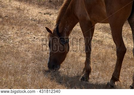 Stock Photo Of Brown Color Young Indian Breed Horse Standing In The Filed And Grazing Dry Grass At K