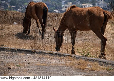 Back View Of Two Brown Color Young Indian Breed Horse Standing In The Filed And Grazing Dry Grass At