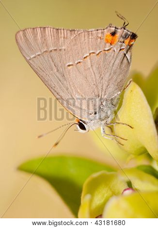 Gray Hairstreak butterfly on milkweed