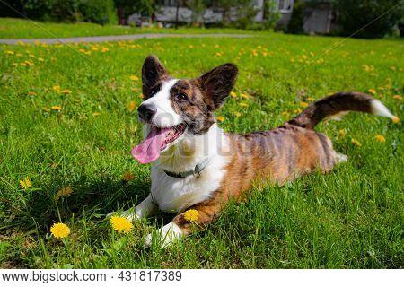 Happy Corgi Dog In The Grass . A Pet. Welsh Corgi. A Dog In The Grass . Walking A Pet. An Article Ab