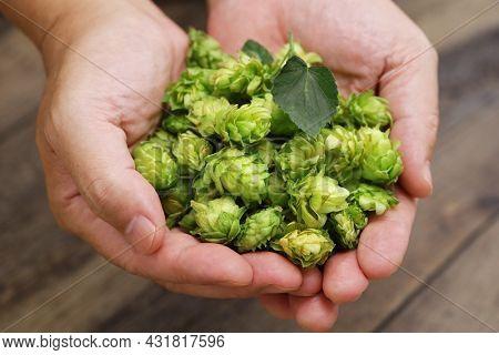 freshly harvested hops on hands