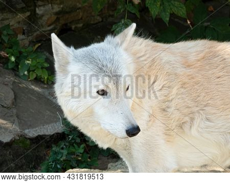 White Tundra Wolf. Canis Lupus Albus, Close-up