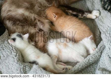 Light Cat With Three Beautiful Kittens Is Sleeping On A Blanket. Two Kittens Are Sleeping, And The T