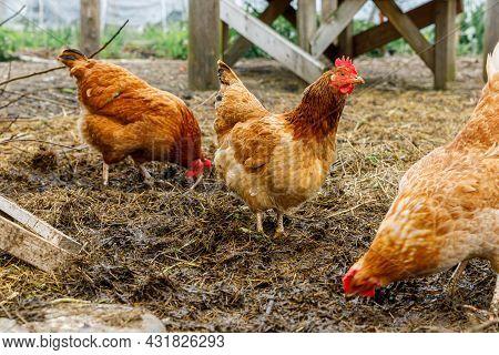 Free Range Chicken On Organic Animal Farm Freely Grazing In Yard On Ranch Background. Hen Chickens G