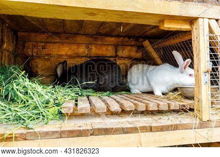 Small Feeding White And Black Rabbits Chewing Grass In Rabbit-hutch On Animal Farm, Barn Ranch Backg