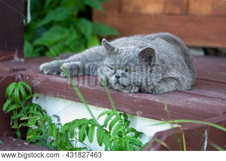 British Shorthair Cat Lying On The Wooden Porch