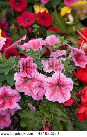 Petunia Flowers In Different Colours Also Called A Nightshade Growing In The Uk