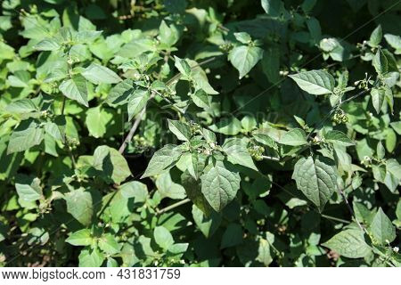 Atropa belladonna, commonly known as belladonna or deadly nightshade. A poisonous perennial herbaceous plant in nightshade family. Night Shade Plant.