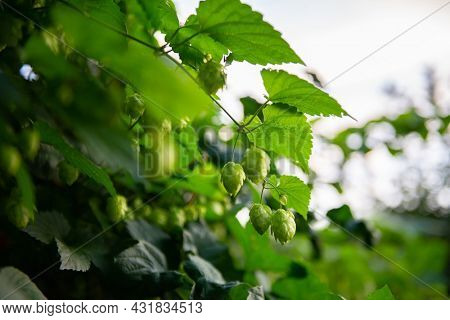 Hop plant, cones and foliage closeup. A medicinal plant, a symbol of fertility, well-being and good luck. Used in brewing. Depressant