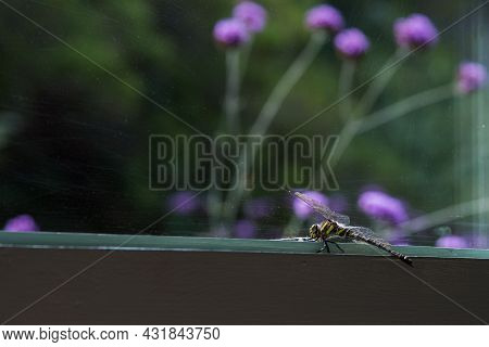 Beautiful Dragonfly On A Window Looking To The Garden. Yellow And Black Tail. Asturias, Spain, Europ