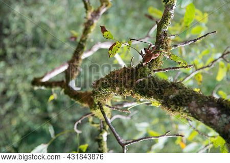 Close Up Of A Tree Branch With Leaves Turning To Fall Colours. Asturias, Spain, Europe