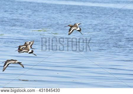 The Black-tailed Godwit (limosa Limosa) Is A Large, Long-legged, It Is A Member Of The Godwit Genus,