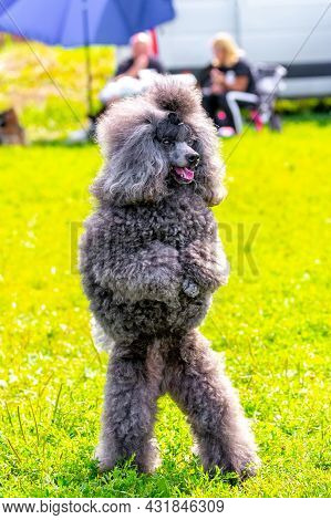 Gray Shaggy Poodle Stands On Hind Legs In The Park During A Walk, Trained Dog