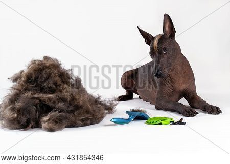 Beautiful Hairless Dog Of Xoloitzcuintle Breed With Ginger Mohawk Lying Down Close To Big Pile Of Fu