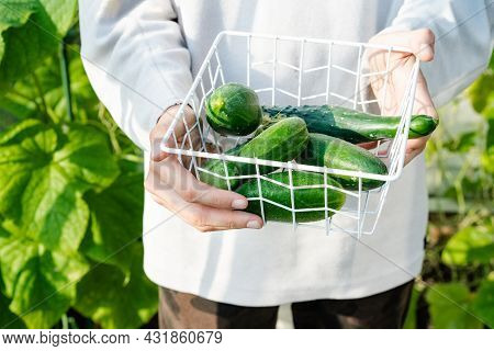 Close-up Of Fresh Cucumbers In Basket In Young Male Hands. Growing Healthy Organic Natural Food At H