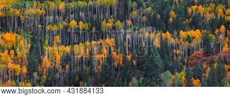 Bright aspen tree forest in Colorado rocky mountains