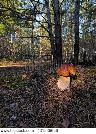 Large Cep Mushroom Grows In Coniferous Wood