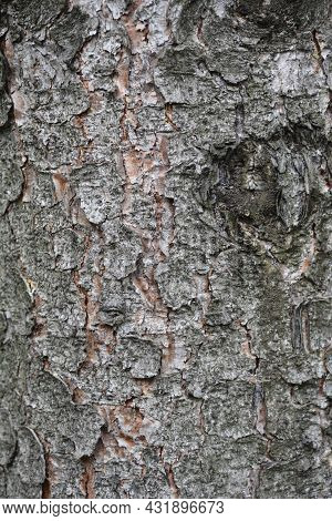 Norway Spruce Bark Detail - Latin Name - Picea Abies