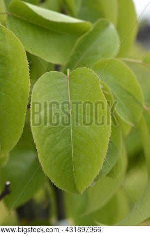 Japanese Pear Leaves - Latin Name - Pyrus Pyrifolia