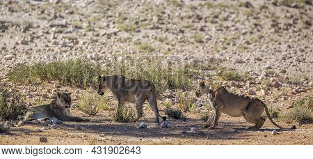 Three African Lioness Resting In Shadow In Kgalagadi Transfrontier Park, South Africa; Specie Panthe