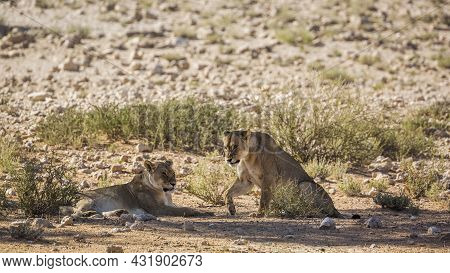 Two African Lioness Resting In Shadow In Kgalagadi Transfrontier Park, South Africa; Specie Panthera