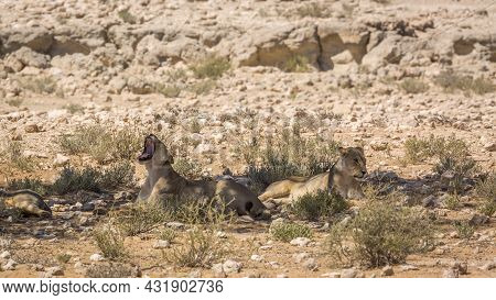 Two African Lioness Lying Down Under Shadow And Yawning In Kgalagadi Transfrontier Park, South Afric