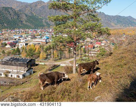 Cows Graze On The Mountain. Chemal, Altai Republic, Russia.