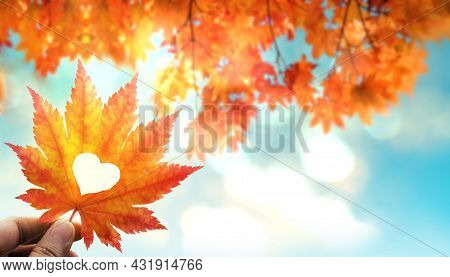 Fall And Autumn Season Concept, Closeup Of Hand Holding A Maple Leaf Cut Out As Heart In Sunny Day.