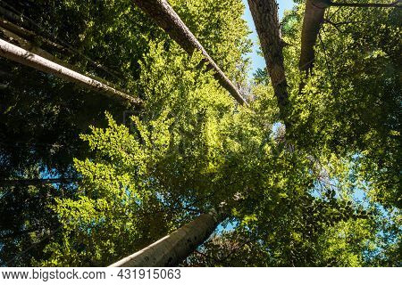 View Looking Up The Trunks Ofr Five Beech Trees With The Sun Lighting Up The Leaves In The Canopy Ab
